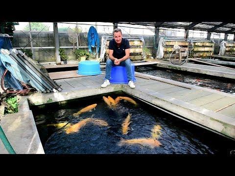 Modern Koi Blog #2804 - Wie warm wird das Wasser in Glashäusern in Japan?
