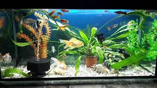 Золотые рыбки вместе с другими обитателями в аквариуме