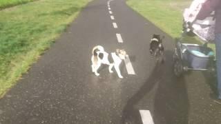 PATTERDALE vs. Jack RUSSELL 6 months FELL TERRIER BSL Estacado Lakeland Dog puppy puppies
