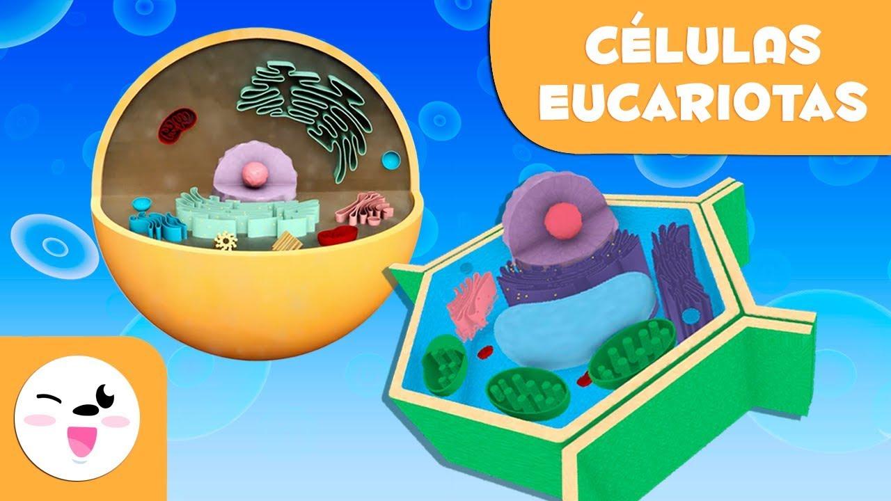Las Célula Eucariotas Y Sus Partes Para Niños Célula Animal Y Vegetal