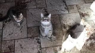 My kitten gang of #exoticshorthair babies 3.5 month