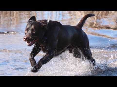 Breathtaking Labrador Retrievers
