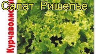 Салат Ришелье. Краткий обзор, описание характеристик, где купить lactuca sativa Rishelie