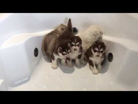 Intimidated Husky Puppies for First Bath!