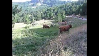 Vaches!