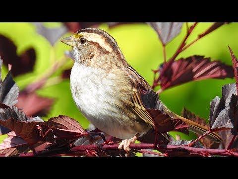Oiseaux du Québec - chants et cris #1