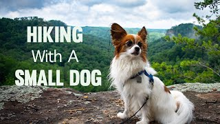 Hiking With A Small Dog // Percy the Papillon Dog