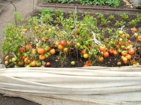 +как выращивать помидоры