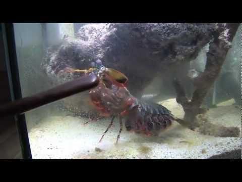 Can a Huge Mantis shrimp crack  a glass aquarium