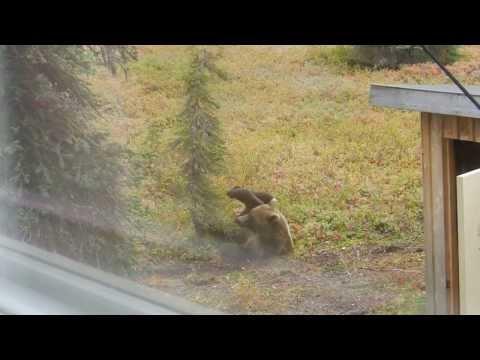 Alaska Grizzly bear at Angstman Cabin