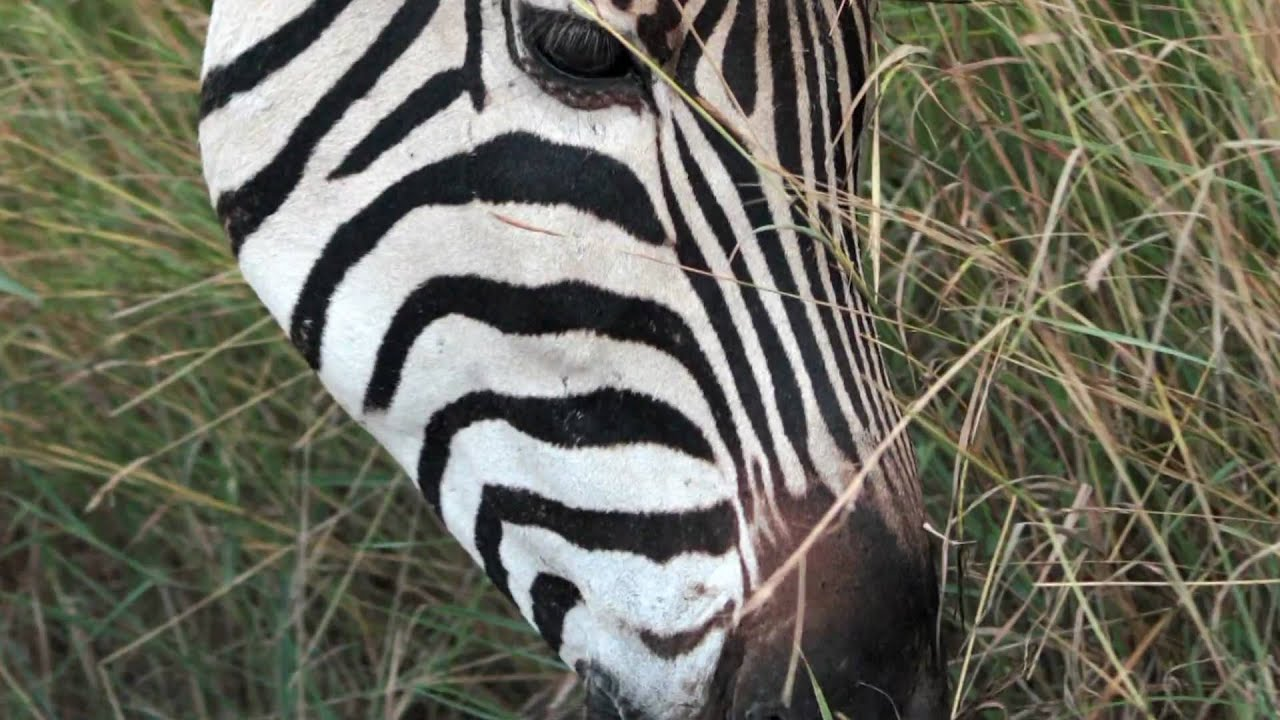 what is the diet of zebras