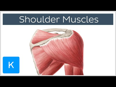 Muscles of the shoulder joint and girdle - Human Anatomy |Kenhub