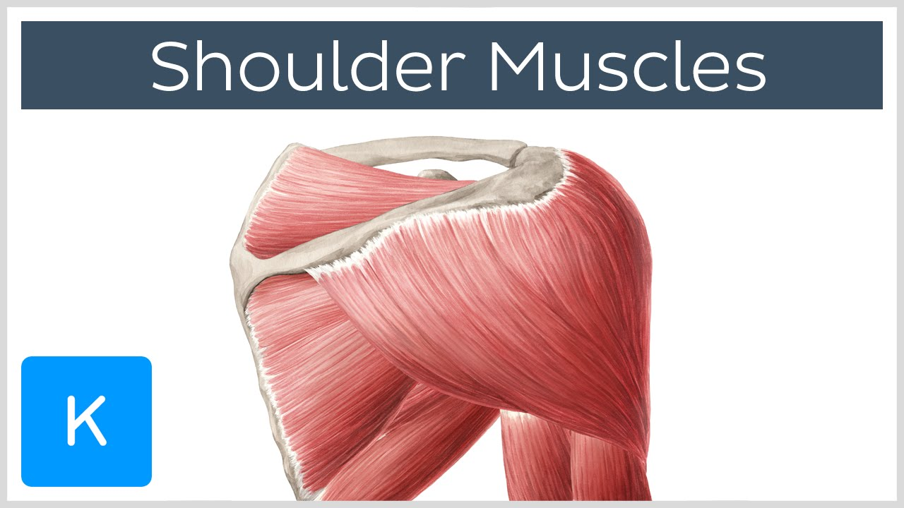 Muscles of the shoulder joint and girdle - Human Anatomy | Kenhub ...