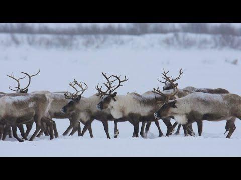 Canadian Reindeer Herd Crossing the Mackenzie River Ice Road