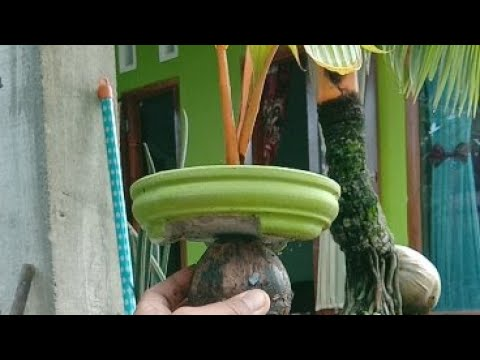 Rahasia Potong Batok Bonsai Kelapa Pot Mame Youtube