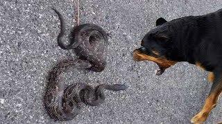 OHAA!! Köpeklerin Yılanlarla Kaşılaşması ( KAHRAMAN EFSANE KÖPEKLER ) Pitbull, Rottweiler
