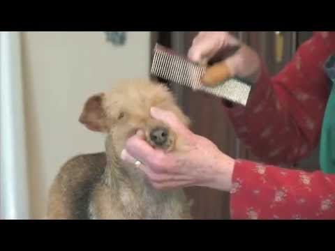 Trimming the Lakeland Terrier Part 1