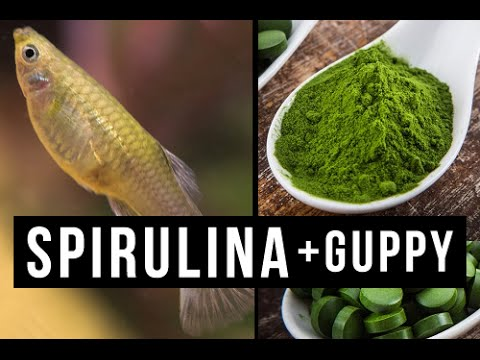 ♞How to feed Spirulina to your guppy Guppies & fries  Vlog_#01✔