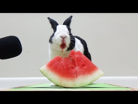 Rabbit Eating Watermelon ASMR