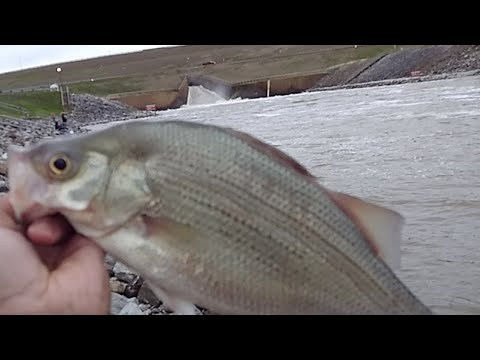 White Bass Fishing Sardis Lake Spillway Live