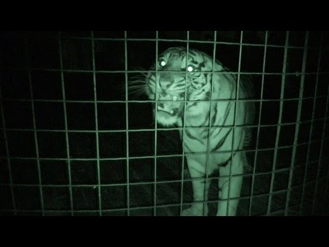 What BIG Cats Do At Night…