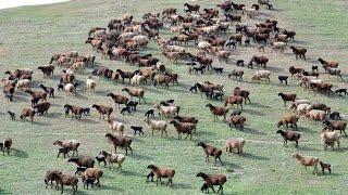 Отара гиссарских овец с ягнятами. Племенной завод Гиссар. Республика Таджикистан
