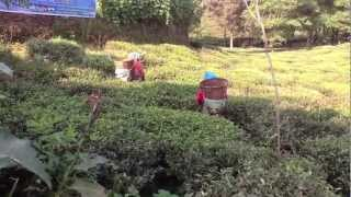 The manufacturing of tea in Nepal