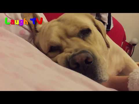 Labradors Are Awesome - Funny Cute Labrador Dogs Compilation || NEWHD