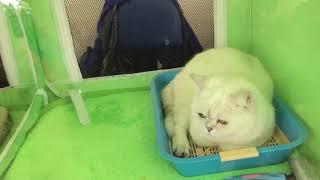 Выставка кошек, Астана 14.04.2018