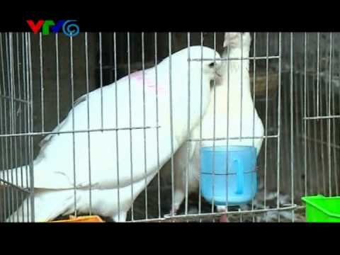 VIDEO KY THUAT NUOI  CHIM BO CAU PHAP-BAN BO CAU PHAP GIONG.mp4