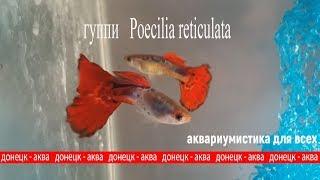 гуппи, Poecilia reticulata, красивые рыбки, как их содержать, что нужно