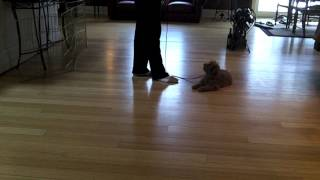 Layla - Trained Mini Goldendoodle Puppy
