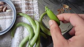 How to save pea seeds & green bean seeds🌱 When to take them out of the pods