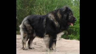 Top5]Największe psy