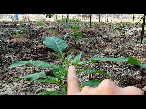 ลาออกจากงานมาเป็นชาวสวน | EP.31 เด็ดยอดต้นพริก เพื่ออะไร?
