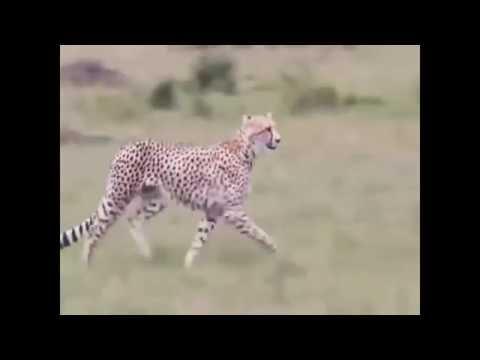 شاهد ماذا فعل الفهد مع صراع القطه