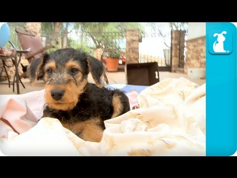 airedale terrier breeders airedale terriers puppies puppy love youtube 765