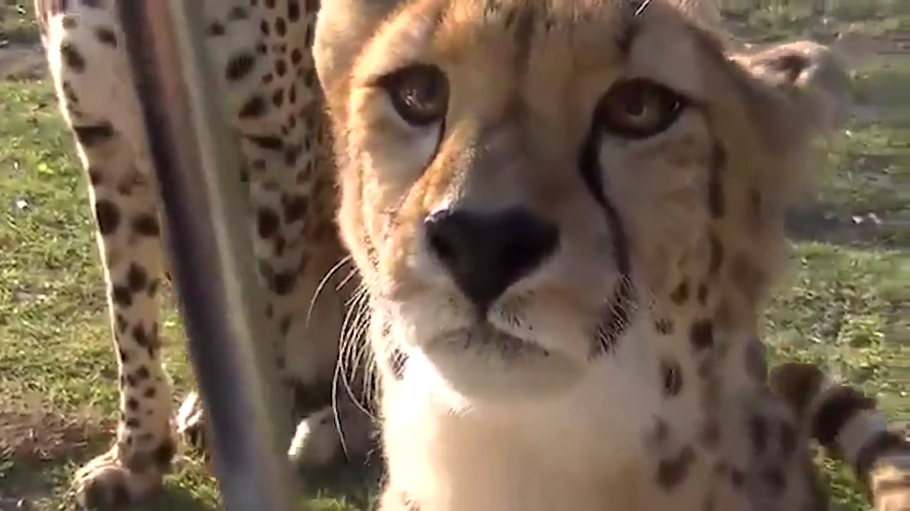 Cheetahs Can't Roar, So Instead They Sound Like This