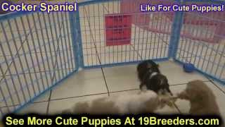 Cocker Spaniel, Puppies, For, Sale, In, Birmingham, Alabama, Al, Montgomery, Tuscaloosa, Jefferson,