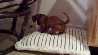 Baby Miniature Dachshund Puppy Freaking Out With A Bouncy Ball