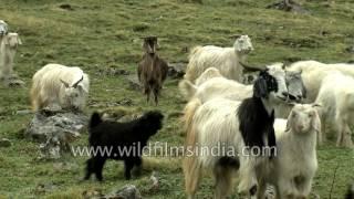 A large flock of sheep at Kuari Pass, Uttarakhand