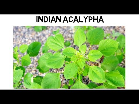 Indian Acalypha Medical Use And How To Use Youtube