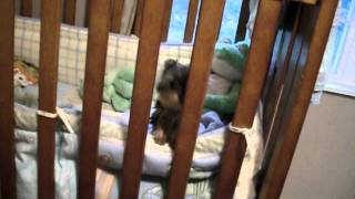 Priceless Yorkie Puppy Cute Baby Tia In Crib Puppy Jail