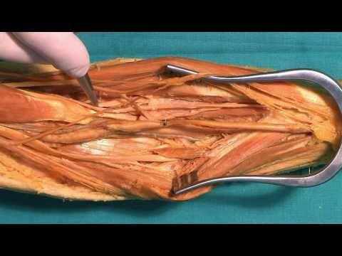 Fossa cubitalis, canalis pronatorius (HD)