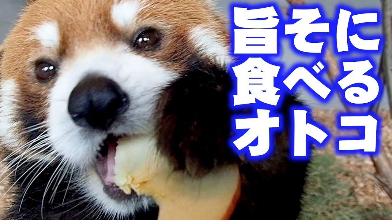 【レッサーパンダ】旨そに食べるオトコ Red Panda EITA at Maruyama Zoo