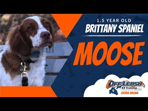 1.5YO Brittany Spaniel (Moose) Off Leash K9 Training / Best Dog Trainers Richmond, VA