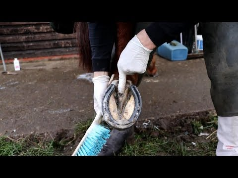 HOW TO TREAT THRUSH - *INFECTION OF THE HOOF & FROG*