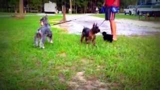 Mini Schnauzer Pups With Parents