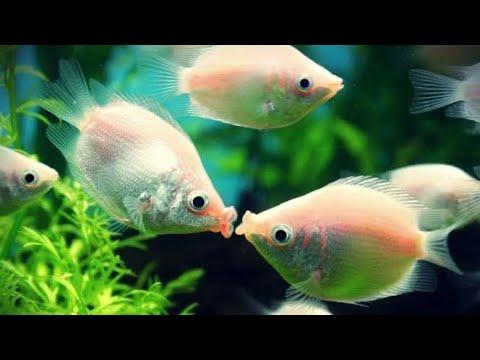 Kissing Fish 🐠