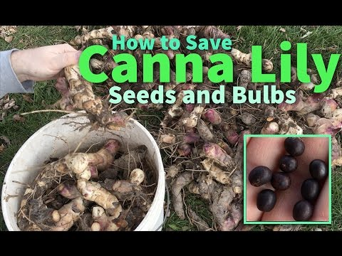 How To Save Canna Lily Seeds And Bulbs